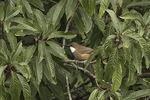White-throated Laughingthrush (Garrulax albogularis) in mid-November.