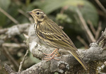 Olive-backed Pipit (Anthus hodgonsi) in mid-November.