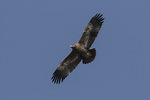 Steppe Eagle (Aquila nipalensis) in flight in mid-November on fall migration. Thulakharka, Kaski District, Gandaki Zone, Nepal.