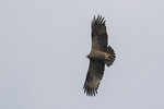 Adult Steppe Eagle (Aquila nipalensis) in flight in mid-November on fall migration.