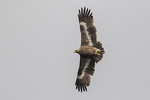 Steppe Eagle (Aquila nipalensis) in flight in mid-November on fall migration.
