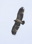 Subadult Steppe Eagle (Aquila nipalensis) in flight in late November on fall migration.