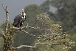 Adult White-rumped Vulture (Gyps bengalensis) in mid-November.