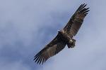 Immature Cinereous Vulture (Aegypius monachus) in flight in mid-November.