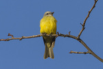 Adult male Couch's Kingbird (Tyrannus couchii), the first record of the species in New York State. December 26, 2014.