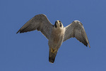 Adult Peregrine Falcon (Falco peregrinus) in flight in late December.