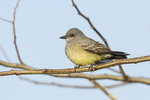Adult male Cassin's Kingbird (Tyrannus vociferans), the second record of the species for New York State. December 27, 2014.