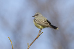 Adult male Cassin's Kingbird (Tyrannus vociferans), the second record of the species in New York State. December 27, 2014.