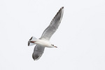 First-cycle Black-headed Gull (Chroicocephalus ridibundus) in flight in early January.