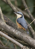 White-tailed Nuthatch (Sitta himalayensis) in November.