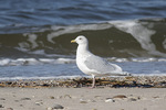 Adult Iceland Gull (Larus glaucoides) in winter plumage.