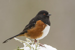 Male Spotted Towhee (Pipilo maculatus) in early March.