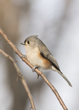 Tufted Titmouse (Baeolophus bicolor) in late January.
