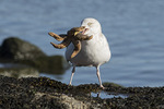 Adult Herring Gull (Larus argentatus) with starfish in late January.