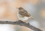 First-cycle Hermit Thrush (Catharus guttatus) in early February.