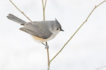 Turted Titmouse (Baeolophus bicolor) in early February.