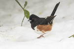 First-winter male Eastern Towhee (Pipilo erythrophthalmus) in early February.