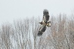 Juvenile Bald Eagle (Haliaeetus leudocephalus) in flight in mid-February.