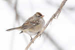Immature White-crowned Sparrow (Zonotrichia leucophrys) in mid-February.