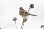 American Tree Sparrow (Spizelloides arborea) in mid-February. Formerly Spizella arborea.