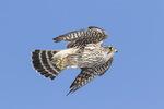 Adult female Merlin (Falco columbarius) in flight in mid-February.