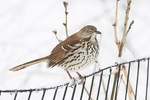 Brown Thrasher (Toxostoma rufum) in late February.