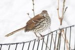 Brown Thrasher (Toxostoma rufum) in late February. Mugger's Woods, Central Park. New York, NY.