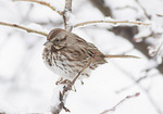 Song Sparrow (Melospiza melodia) in late February.