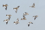 Snow Bunting (Plectrophenax nivalis) flock in flight in mid-February.