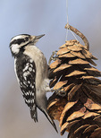 Female Downy Woodpecker (Picoides pubescens) on pine cone feeder.