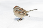 American Tree Sparrow (Spizelloides arborea) in late February. Formerly Spizella arborea.