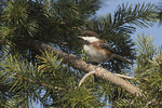 Chestnut-backed Chickadee (Poecile rufescens) in early March.