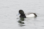 Adult male Greater Scaup (Aythya marila) in early March.