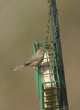 Female Bushtit (Psaltriparus minimus) at suet feeder in early March.