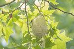 Baltimore Oriole (Icterus glabula) nest in London Plane.