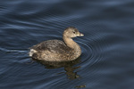 Pied-billed Grebe (Podilymbus podiceps) in late March.