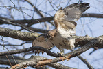 Adult Red-tailed Hawk (Buteo jamaicensis) looking for nesting material.