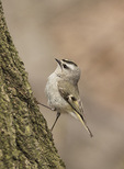 Male Golden-corwned Kinglet (Regulus satrapa) in early April on spring migration.