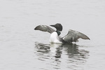 Adult Common Loon (Gavia immer) in mid-April on spring migration.