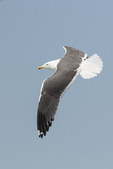 Adult Lesser Black-backed Gull (Larus fuscus) in flight in mid-April.