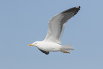 Adult Lesser Black-backed Gull (Larus fuscus) in flight in mid-April. New York waters off Long Island.