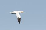 Adult Northern Gannet (Morus bassanus) in flight in mid-April.