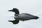 Adult Common Loon (Gavia immer) in breeding plumage in mid-April on spring migration.