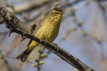 Palm Warbler (Setophaga palmarum) in mid-April on spring migration.