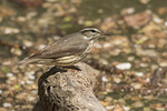 Louisiana Waterthrush (Parkesia motacilla) in late April on spring migration.