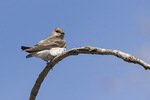 Northern Rough-winged Swallow (Stelgidopteryx serripennis) in late April on spring migration.