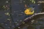 Adult male Prothonotary Warbler (Protonotaria citrea) in late April.
