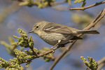 First-spring female Pine Warbler (Setophaga pinus) in early May on spring migration.