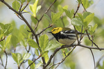 Male Black-throated Green Warbler (Setophaga virens) in late April on spring migration. The Point, Central Park. New York, NY.