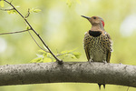 Adult female Northern Flicker (Colaptes auratus) in mid-May.